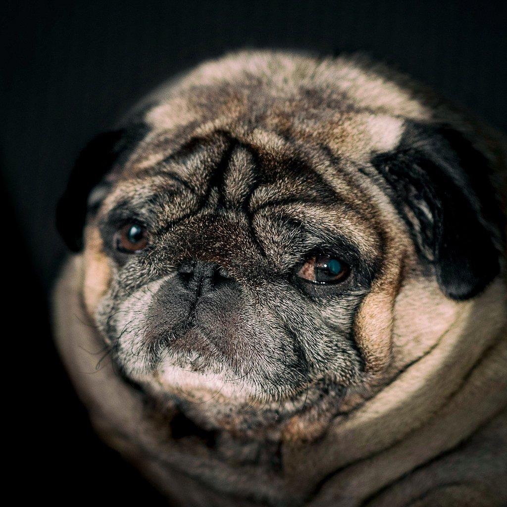Halva the pug