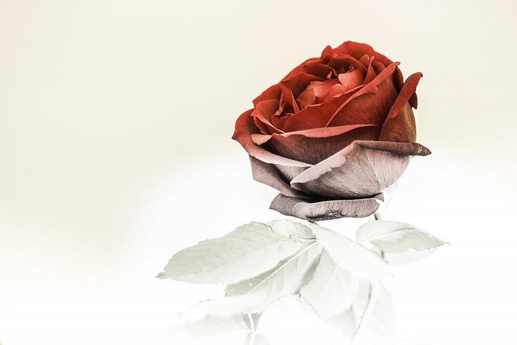 3éme place Gelée de rose