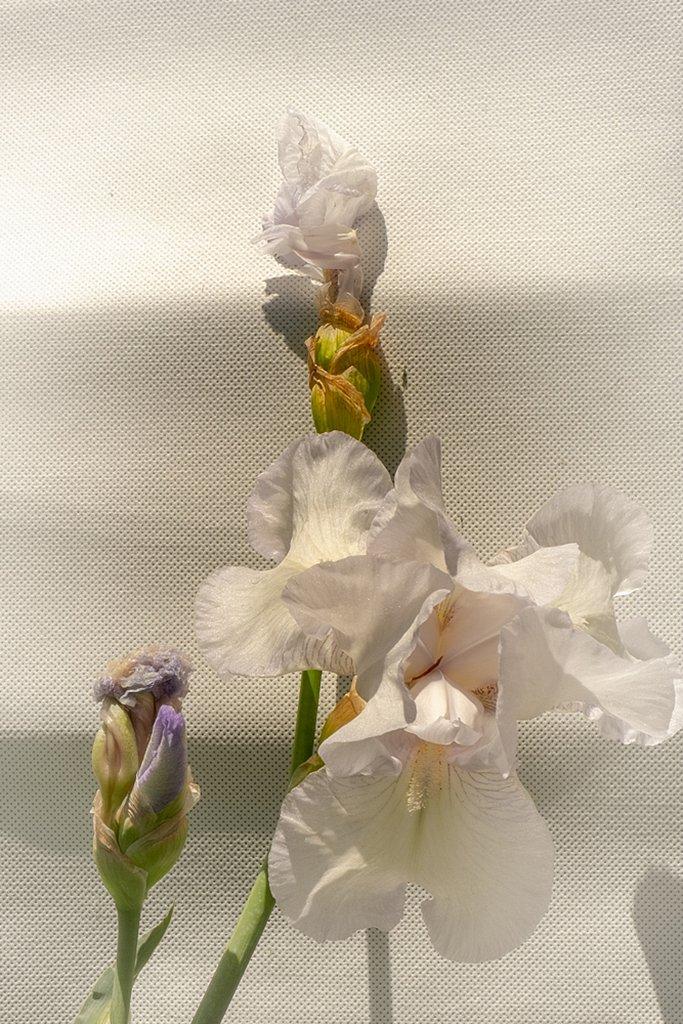 Iris blancs