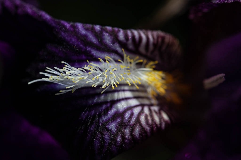 Au coeur de l'Iris